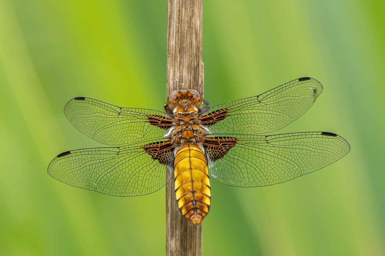 Afbeelding van Landelijke libellentelling