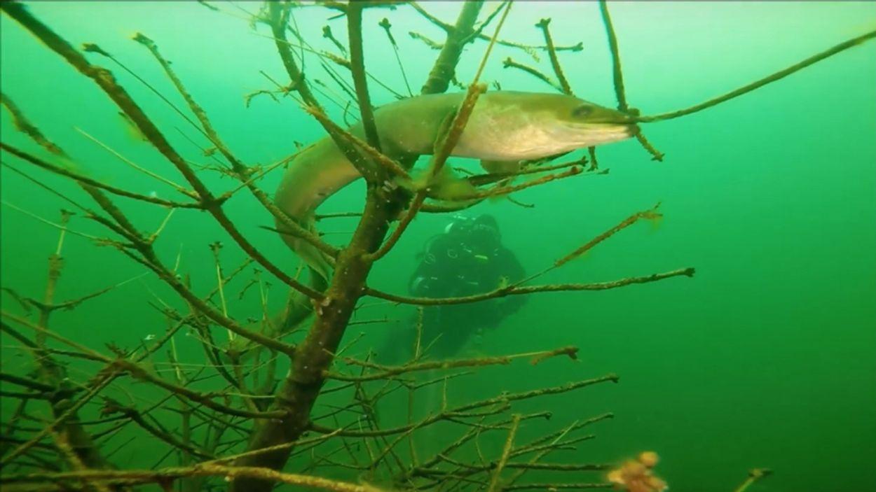 Afbeelding van Al honderden palingen over de dijk gezet