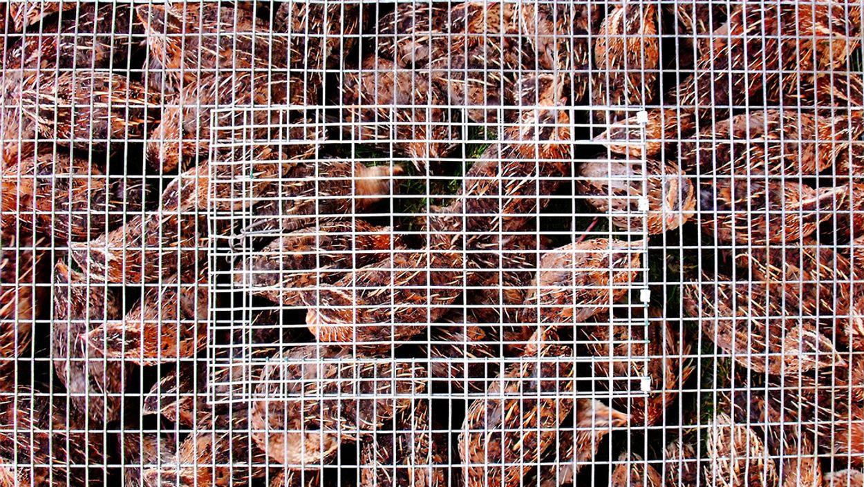 Afbeelding van EU-parlement steunt burgerinitiatief tegen kooien landbouwdieren