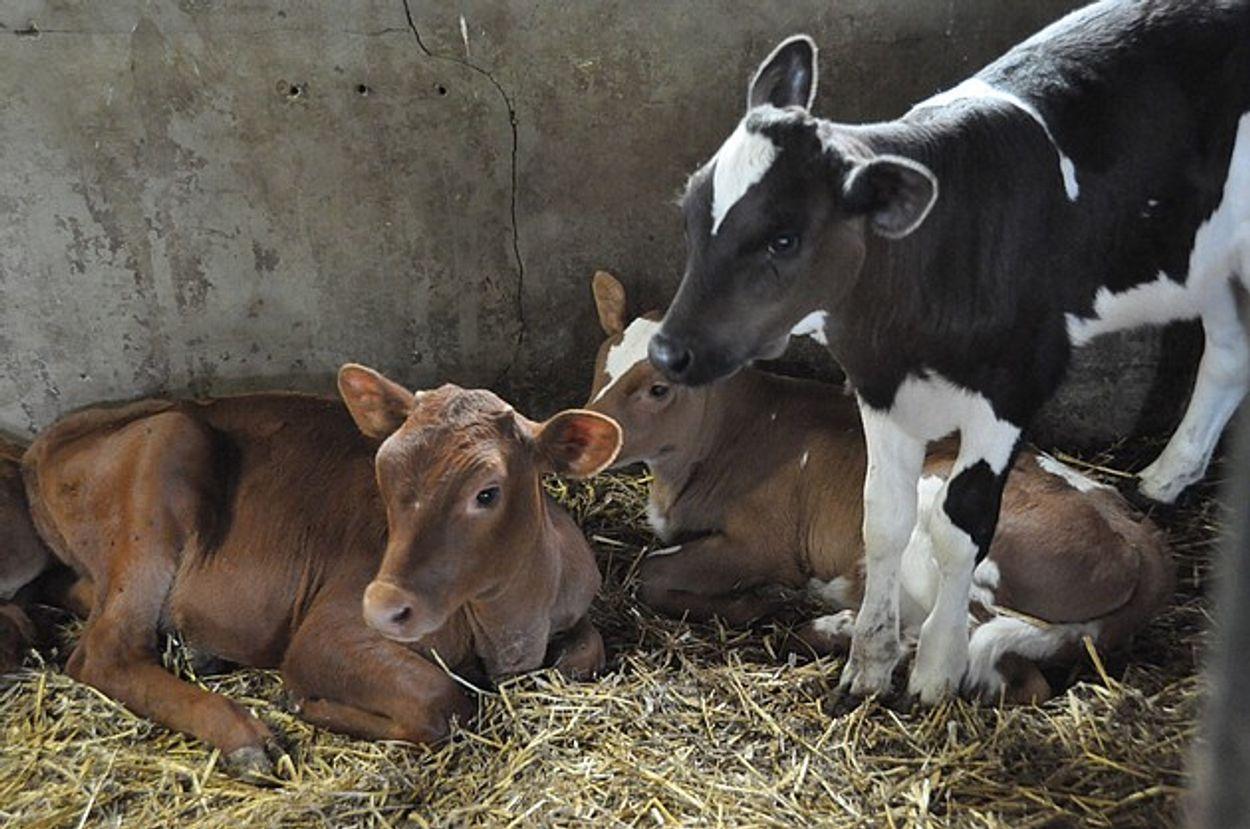 Afbeelding van Grana Padano-kaas bron van ernstig dierenleed