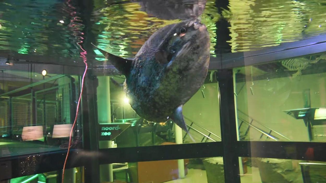 Afbeelding van Verkleumde maanvis opgevangen in Ecomare