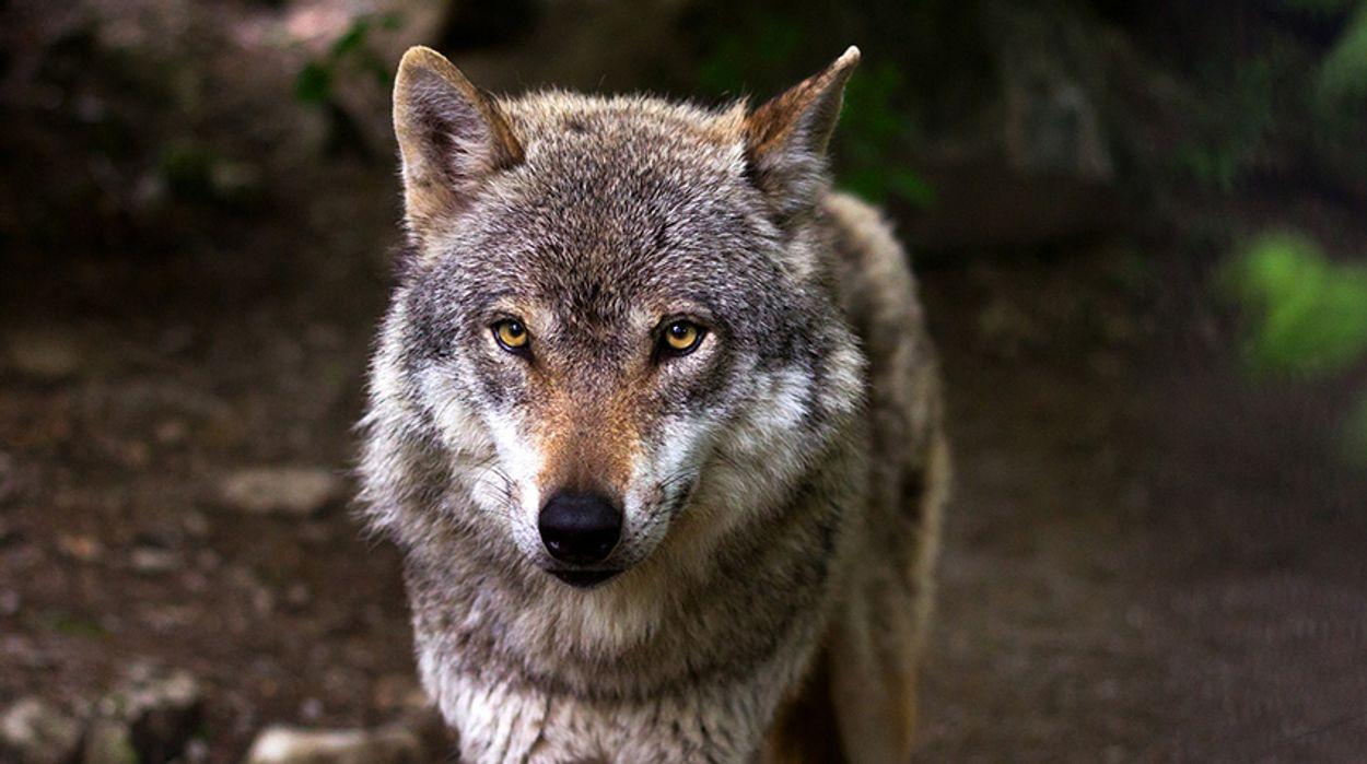 Afbeelding van Dode wolf gevonden in Stroe op de Veluwe