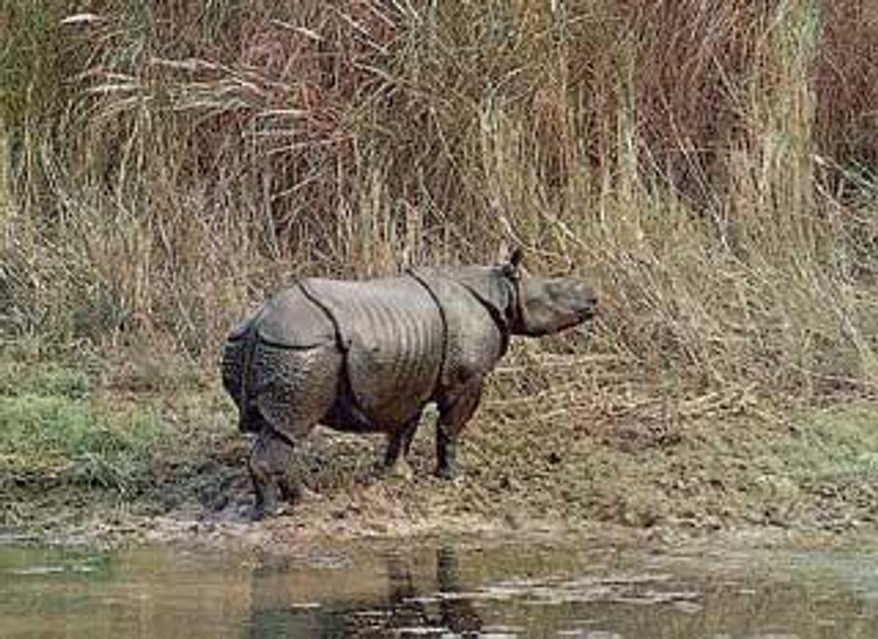 Afbeelding van Kalveren van zeer bedreigde Javaanse neushoorn gezien