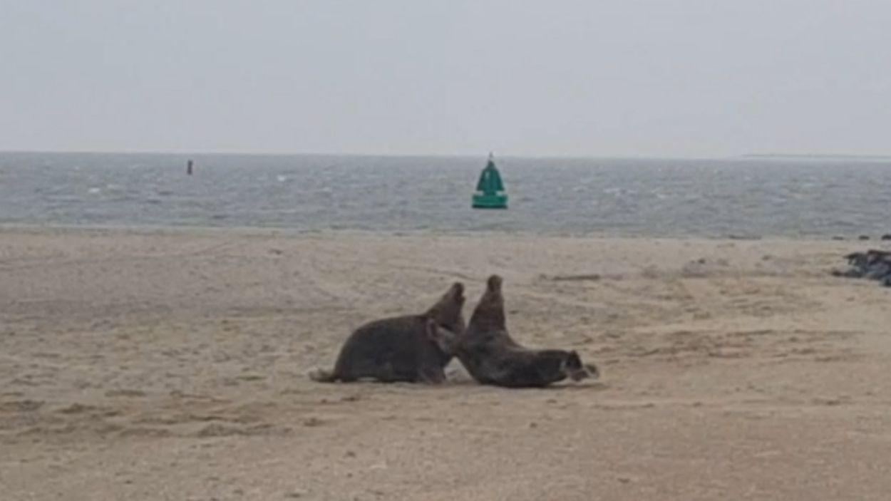 Afbeelding van Vechtende grijze zeehonden | Zelf Geschoten