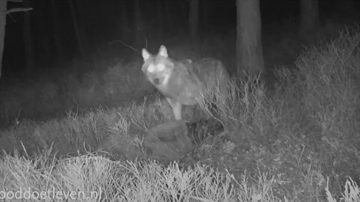Afbeelding van Unieke beelden van wolf en aaseters bij wolvenprooi