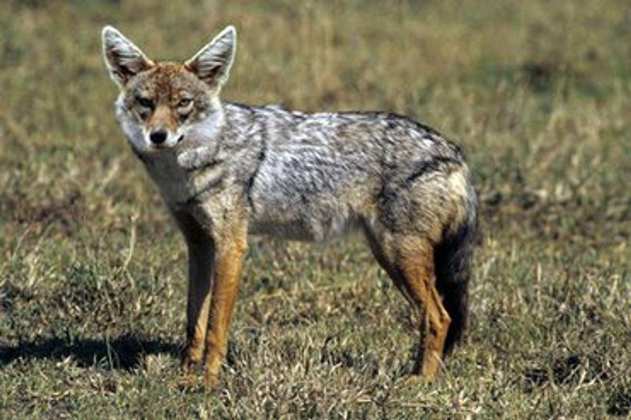 Afbeelding van Na de wolf ook de goudjakhals permanent in Nederland?