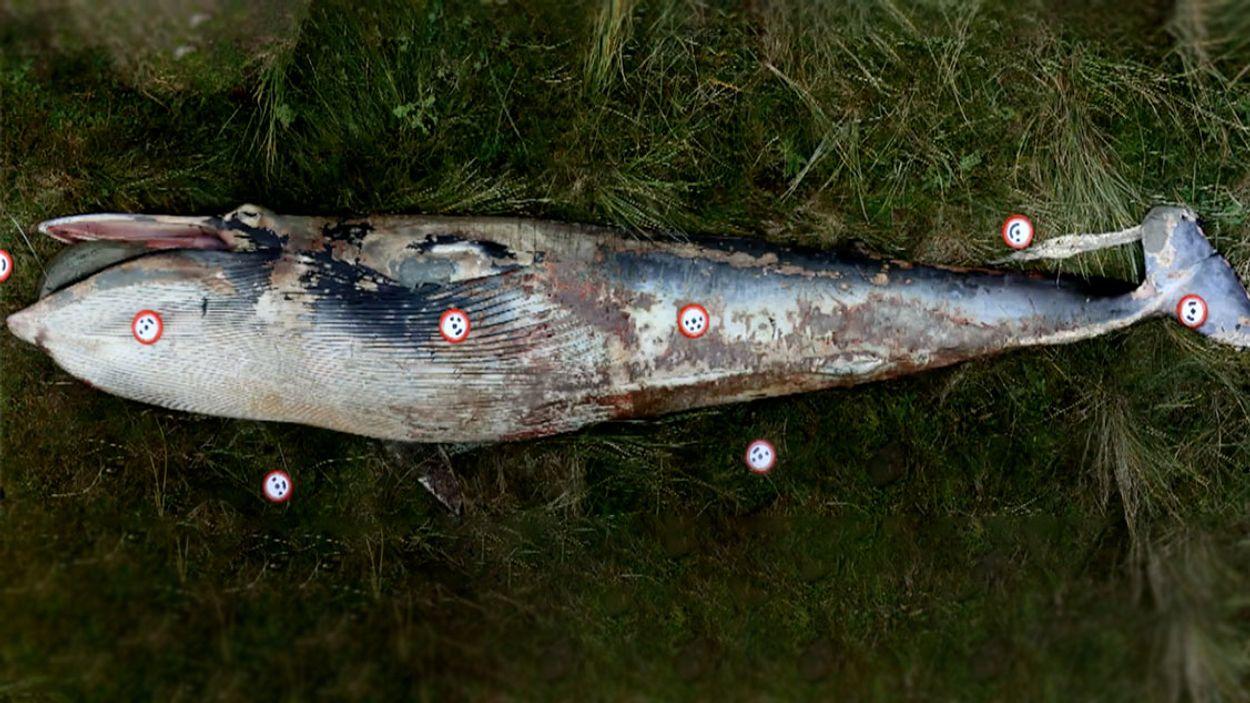 Afbeelding van Aangespoelde dwergvinvis op Rottumerplaat