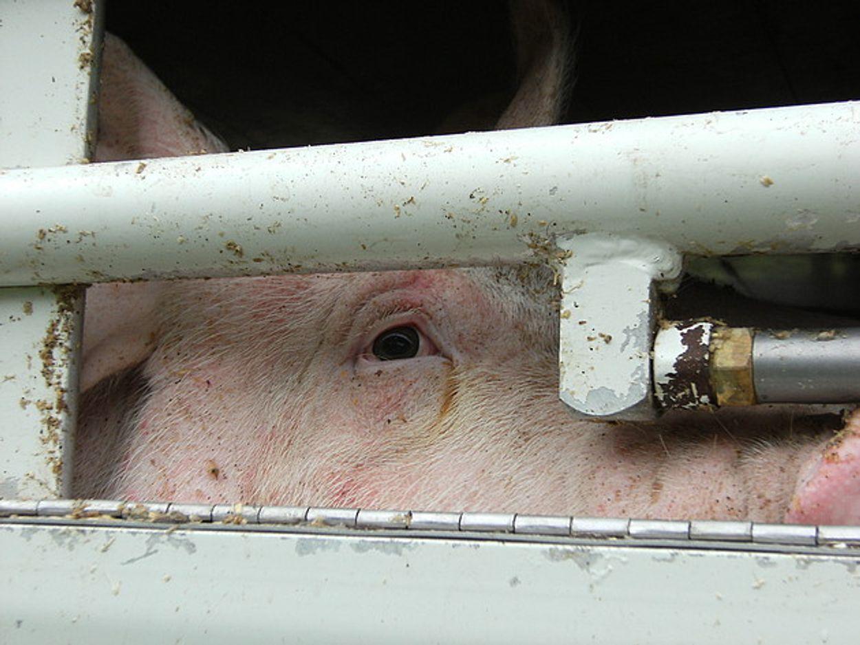 Afbeelding van 'Meldpunt Hittestress' voor dieren in de vee-industrie