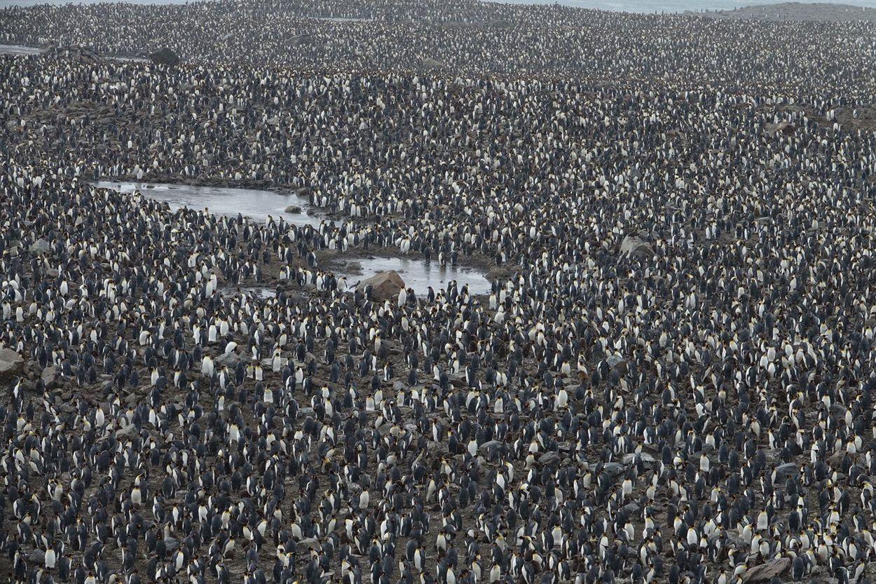 Miljoenen pinguïns
