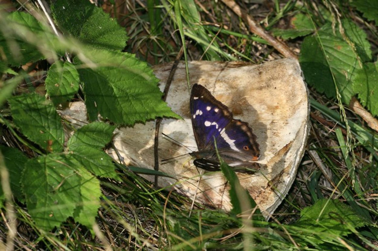 Afbeelding van Vieze vlinders met een bizarre voorkeur