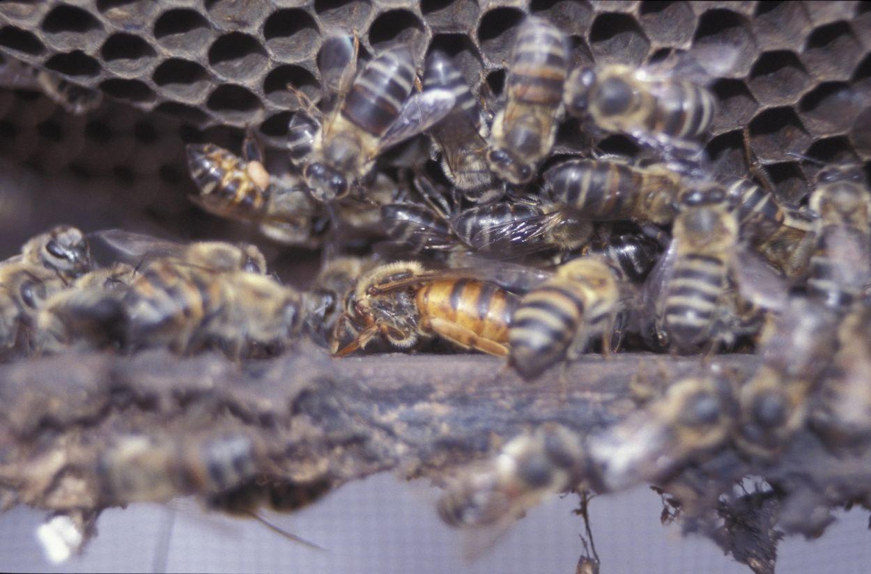 Afbeelding van Voortplanten zonder seks: 'maagdelijke geboorte'-gen ontdekt bij bijen