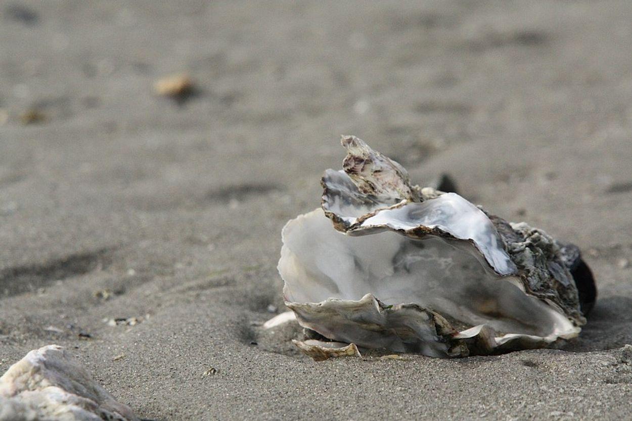 Afbeelding van Platte oester weer gevonden in de Rotterdamse haven