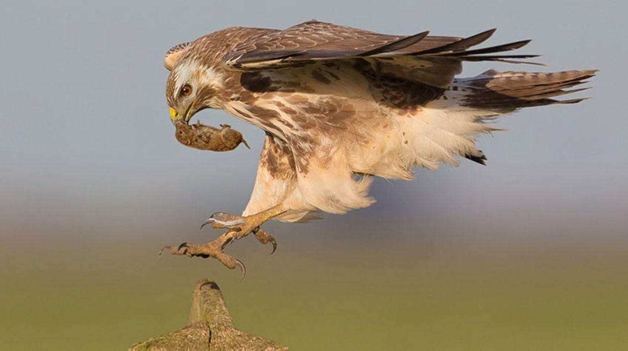 Afbeelding van Dit is waarom je nu zoveel buizerds ziet vliegen