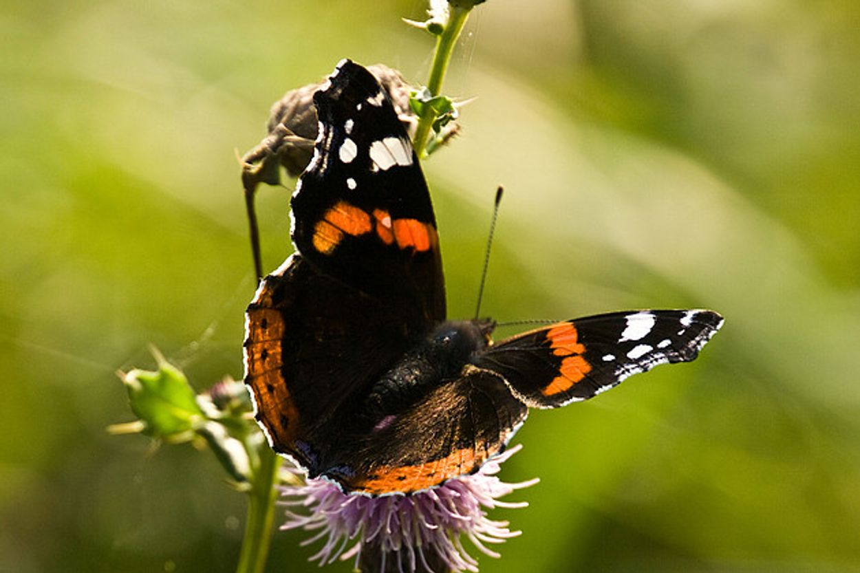 Afbeelding van 117.000 vlinders geteld, maar Vlinderstichting maakt zich zorgen