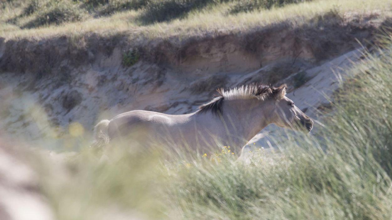 Afbeelding van 'Pure wetsontduiking' bij mogelijke slacht tweehonderd konikpaarden