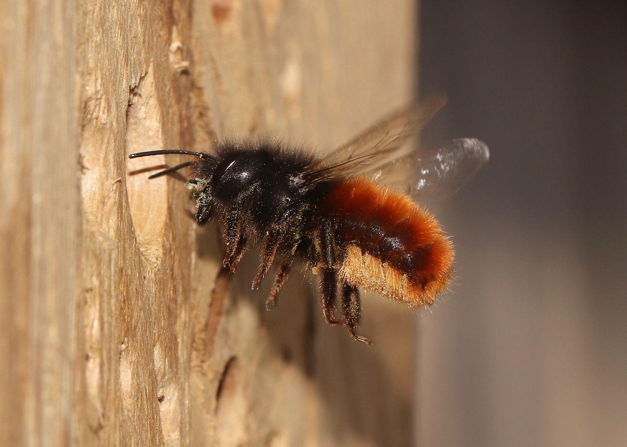 Afbeelding van Metselbijen in de boomgaard