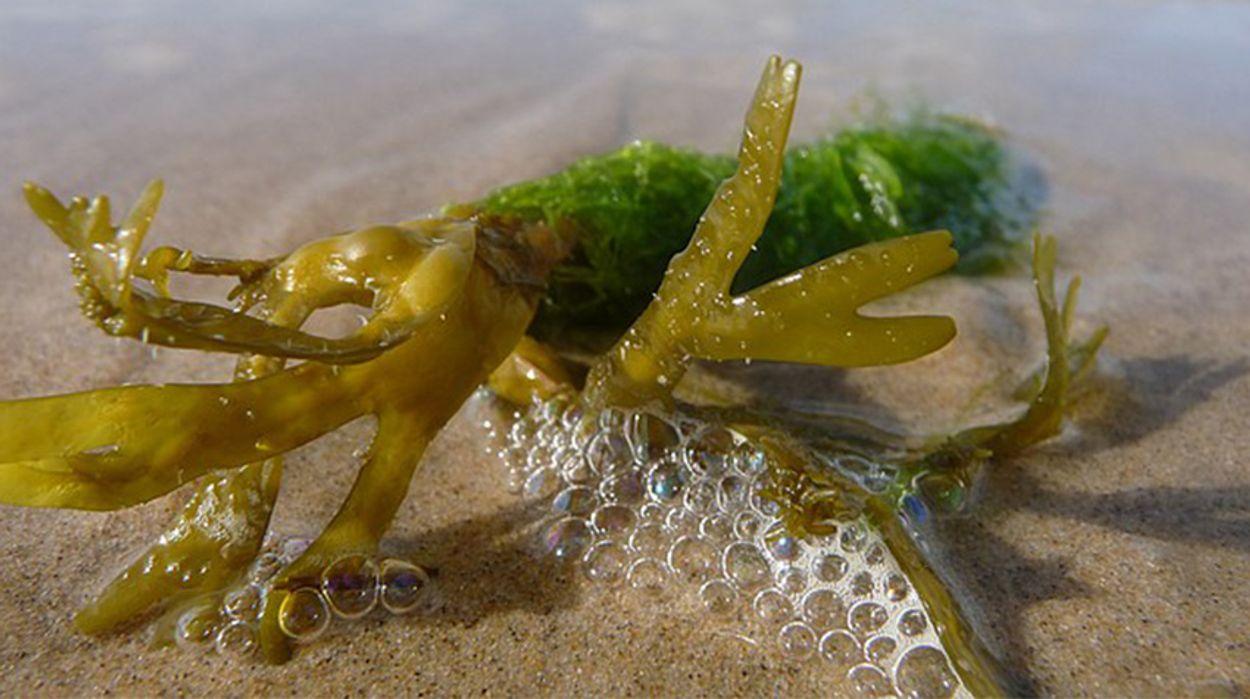 Afbeelding van Wind en zeewier oogsten op zee