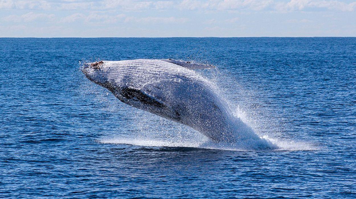 Afbeelding van Herrie in de zee slecht voor walvis