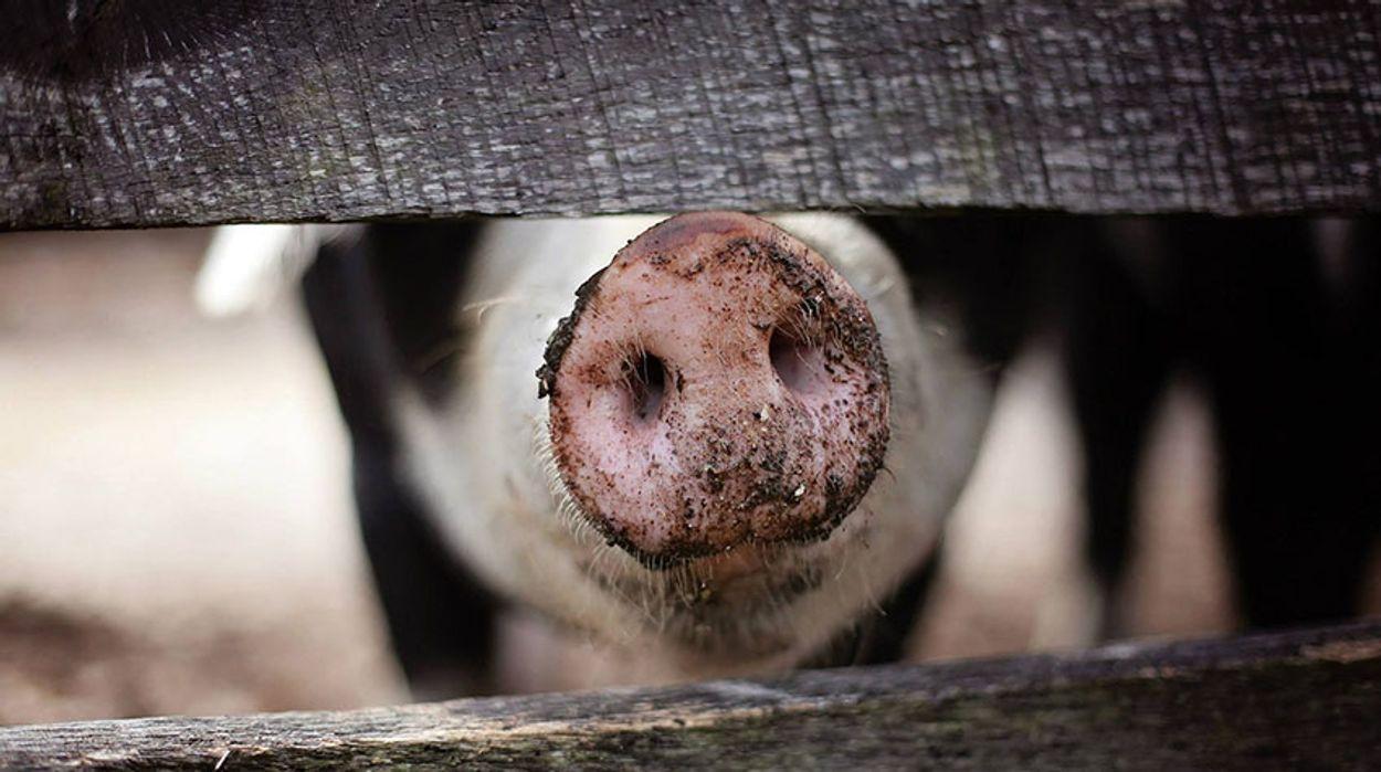 Afbeelding van Petitie voor minister van Dierenwelzijn door Varkens in Nood