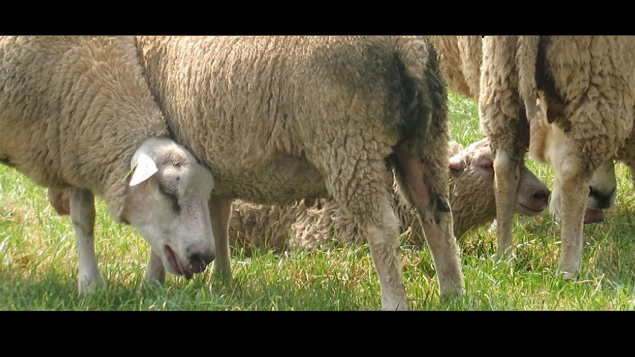 Afbeelding van 'NVWA greep niet in bij dierenleed tijdens hittegolf '