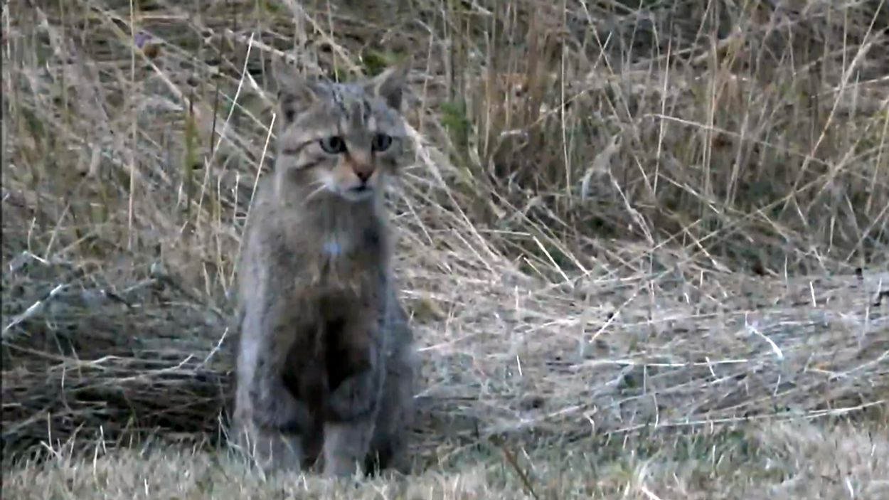 Afbeelding van De wilde kat in Nederland
