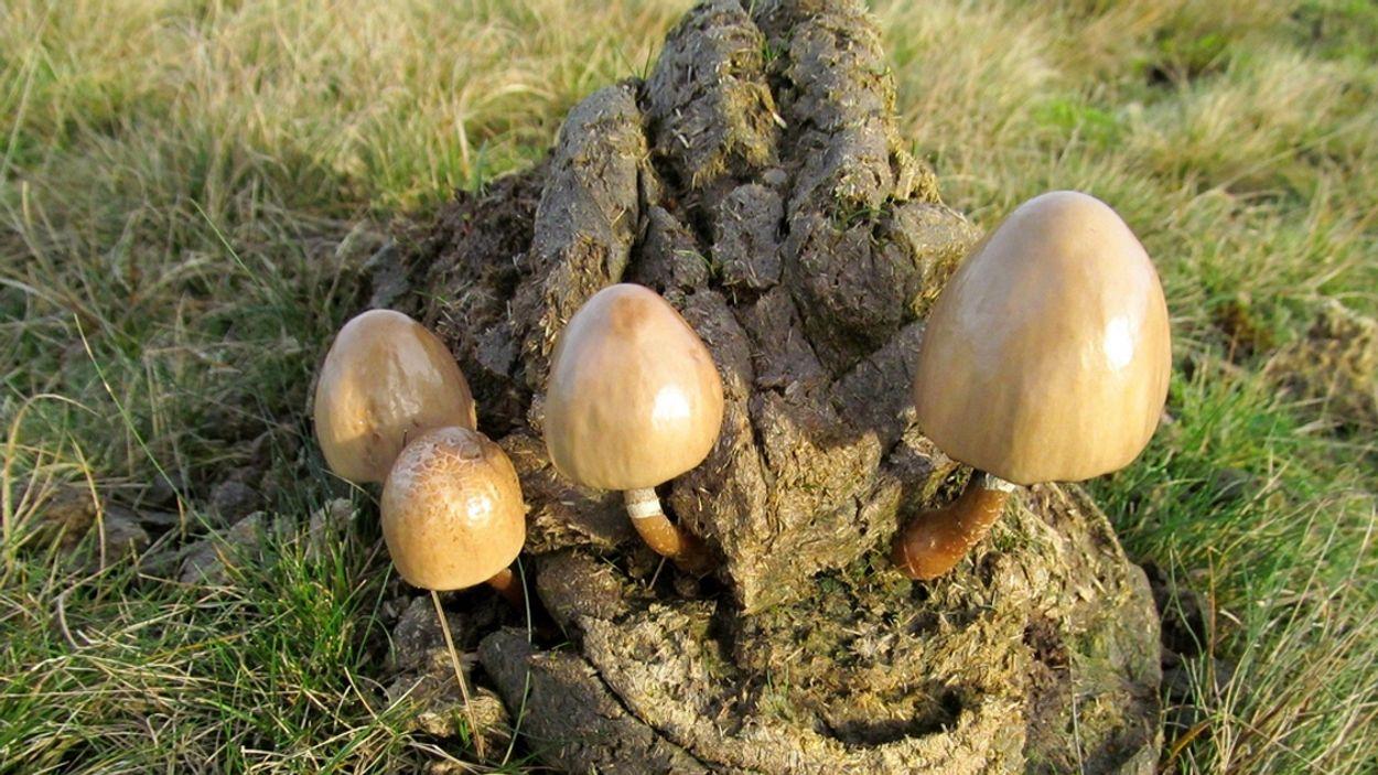 Afbeelding van Bijzondere paddenstoelen gedijen goed in mest konikpaarden