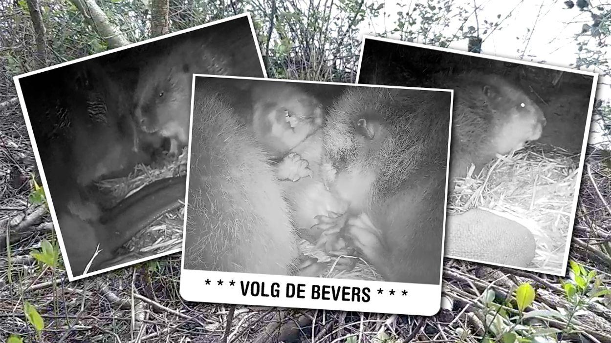 Afbeelding van Volg de bevers via de webcam
