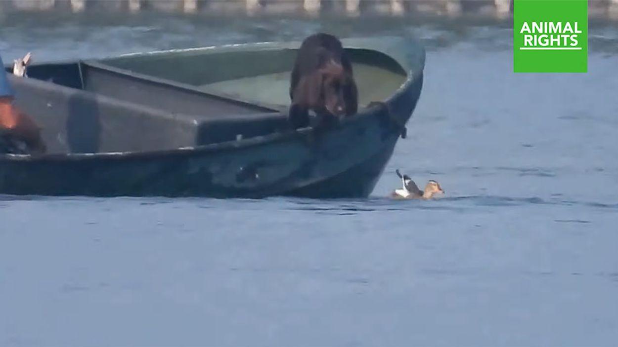Afbeelding van Jacht op eenden met lokvogel aan een touwtje