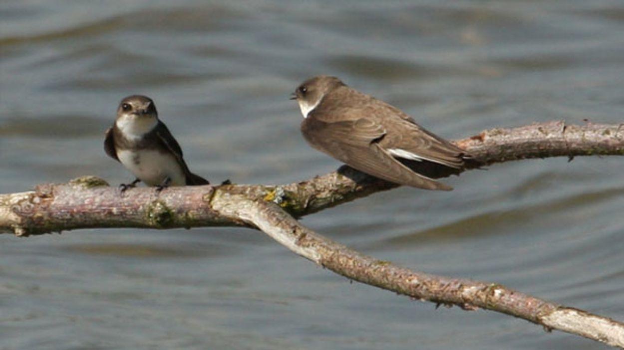 Afbeelding van Oerverzwaluw, Biesbosch boswachter, duurzaam vliegen, fenolijn en alle overige onderwerpen