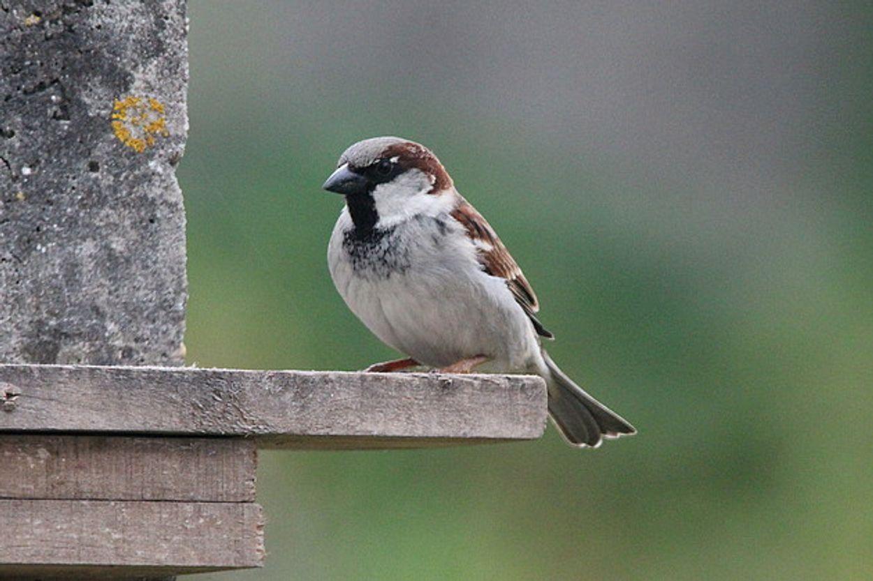 Afbeelding van Huismus wint de populaire Nationale Tuinvogeltelling