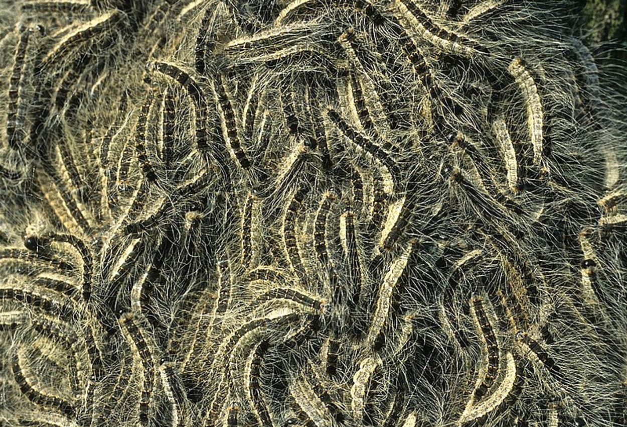 Afbeelding van Ophangen van mezenkasten niet voldoende in strijd tegen eikenprocessierups