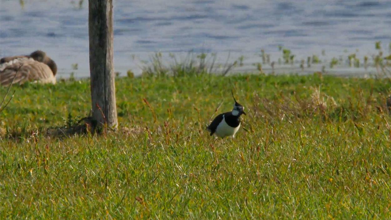 Afbeelding van Broedende vogels in het hoogveen en in de weides