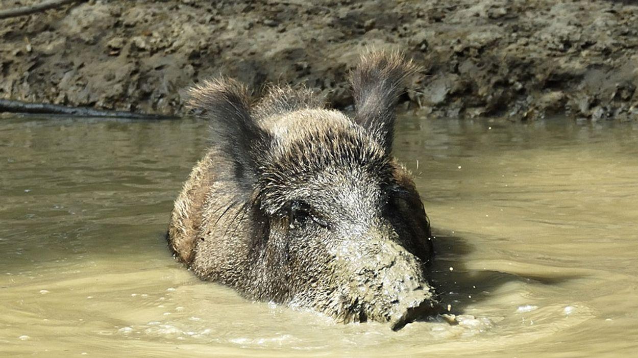 Afbeelding van 'Afschot van duizenden hoefdieren op Veluwe nodig'