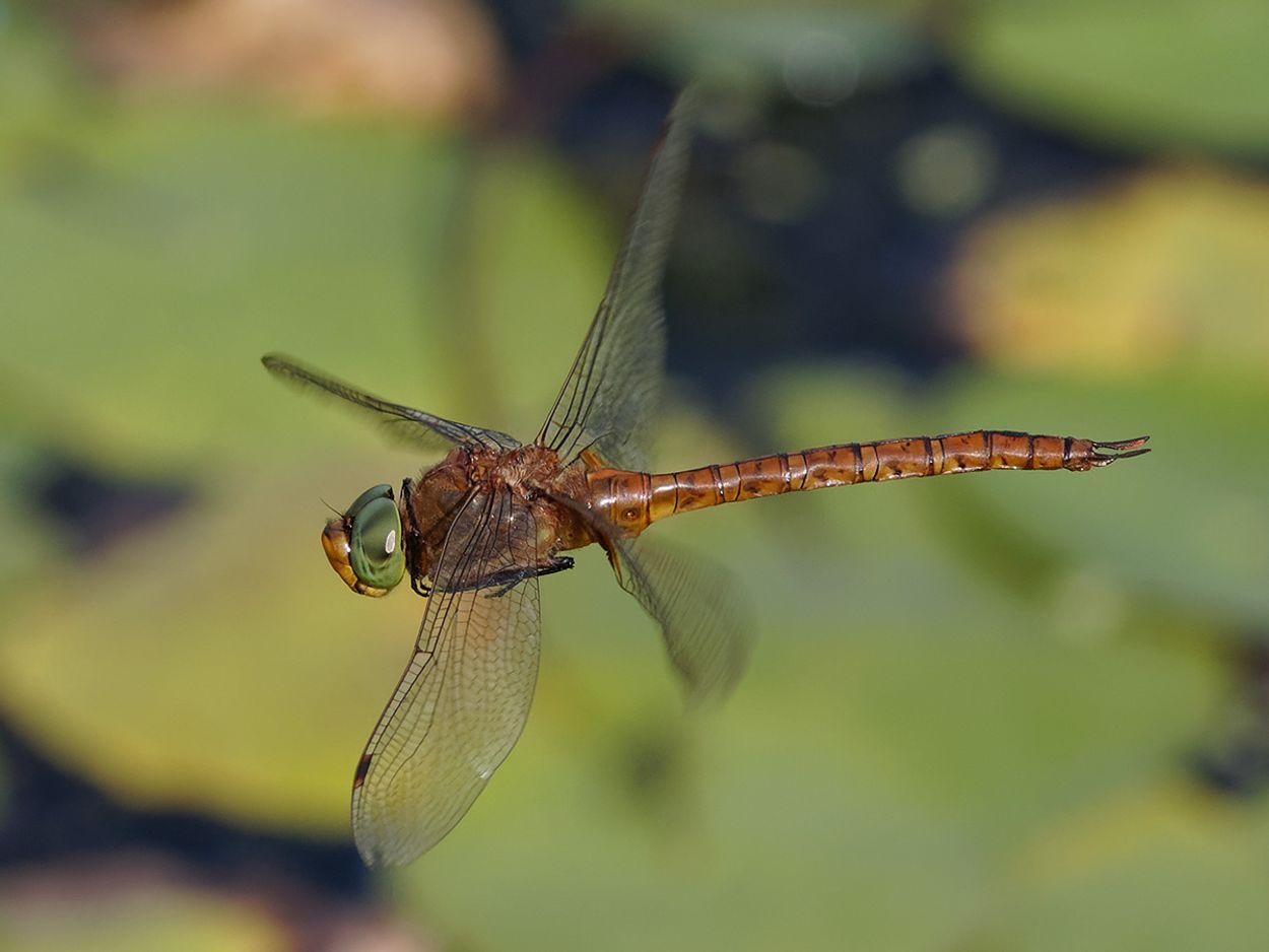 Afbeelding van Vraagbaak: kunnen libellen steken of bijten?