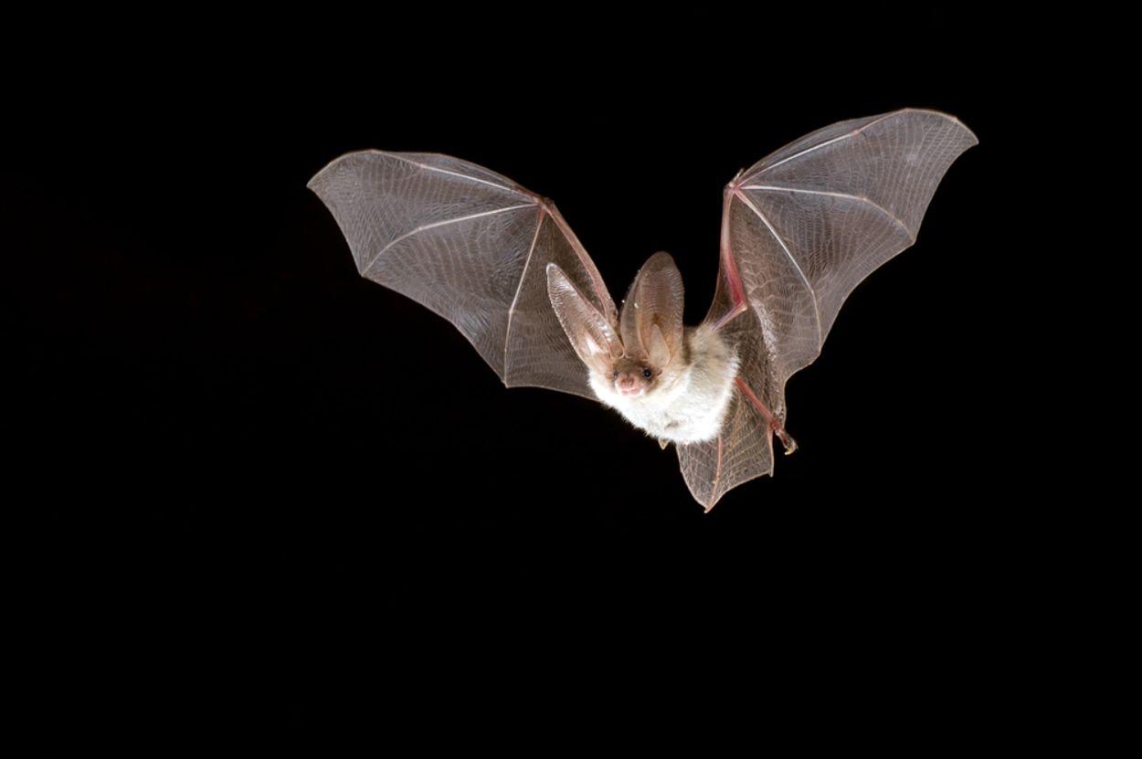 Afbeelding van Gelderland verjaagt vleermuizen met flappen