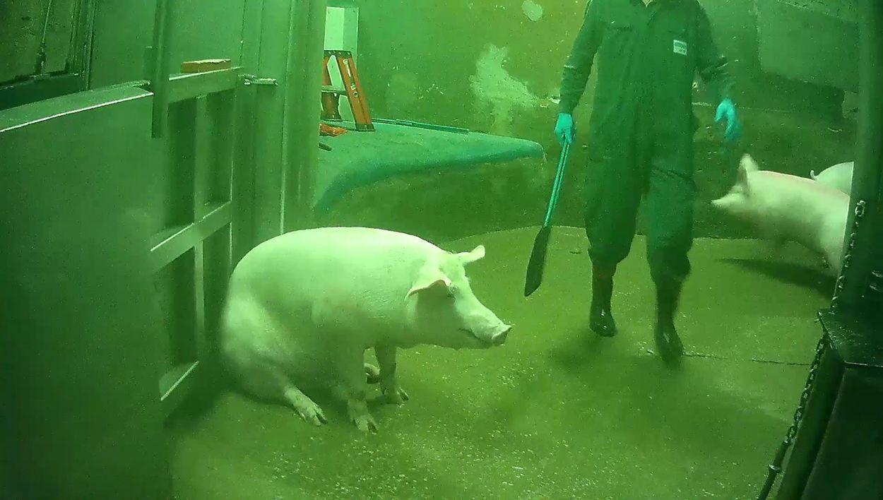 Afbeelding van Varkens in Nood: slachtsnelheid omlaag om misstanden slachterijen te voorkomen