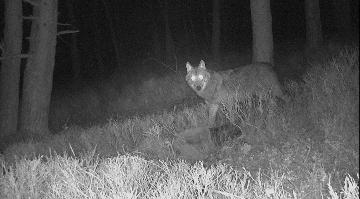 Afbeelding van Wolf duikt op in Friesland, veehouders willen hek
