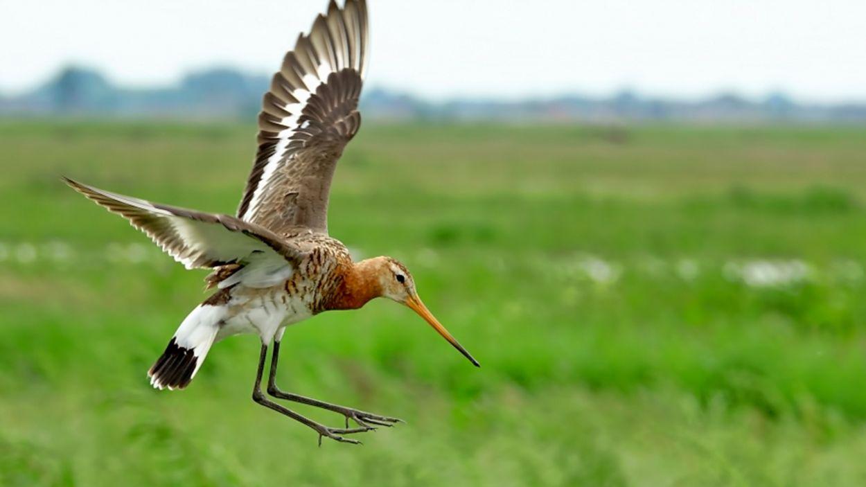 Afbeelding van Onze nationale vogel is terug: de grutto