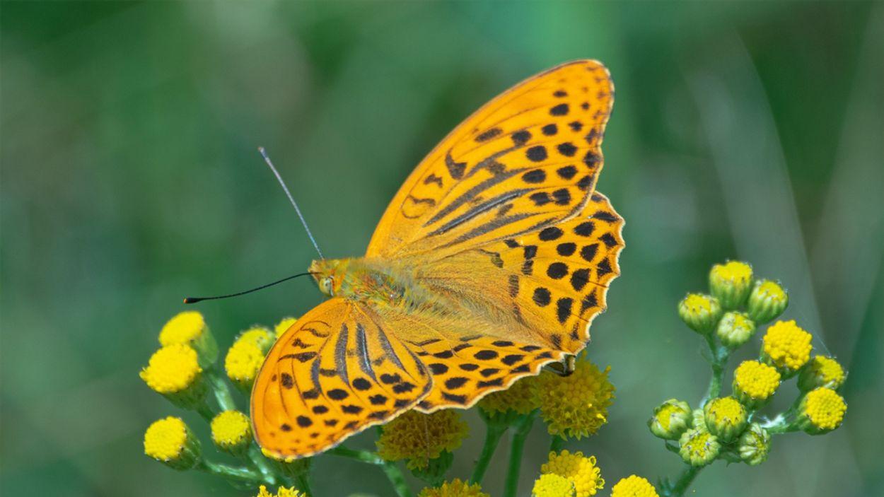Afbeelding van Het ultieme oranjegevoel: de keizersmantel