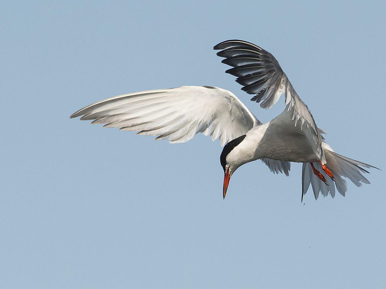 Afbeelding van Gogge en marolle! Ken jij deze Zeeuwse vogelnamen?