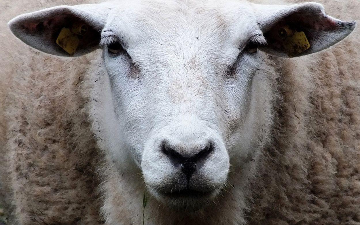 Afbeelding van Dierenorganisatie waarschuwt voor illegale slacht bij Offerfeest