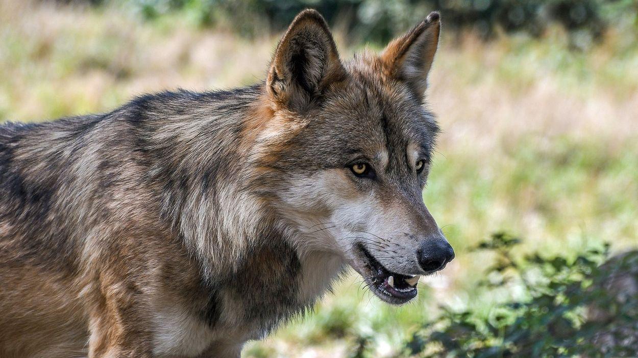 Afbeelding van Hoge Veluwe: wolf heeft moeflons gedood