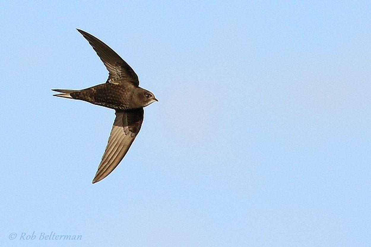 Afbeelding van Doe mee: melden waarneming gierzwaluw nestplaatsen