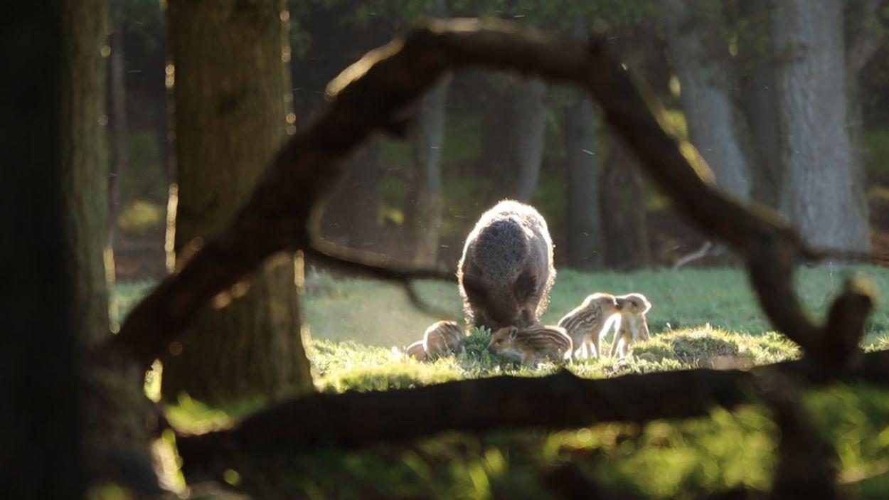 Afbeelding van Wild zwijn met jongen   Winnaar Zelf Geschoten