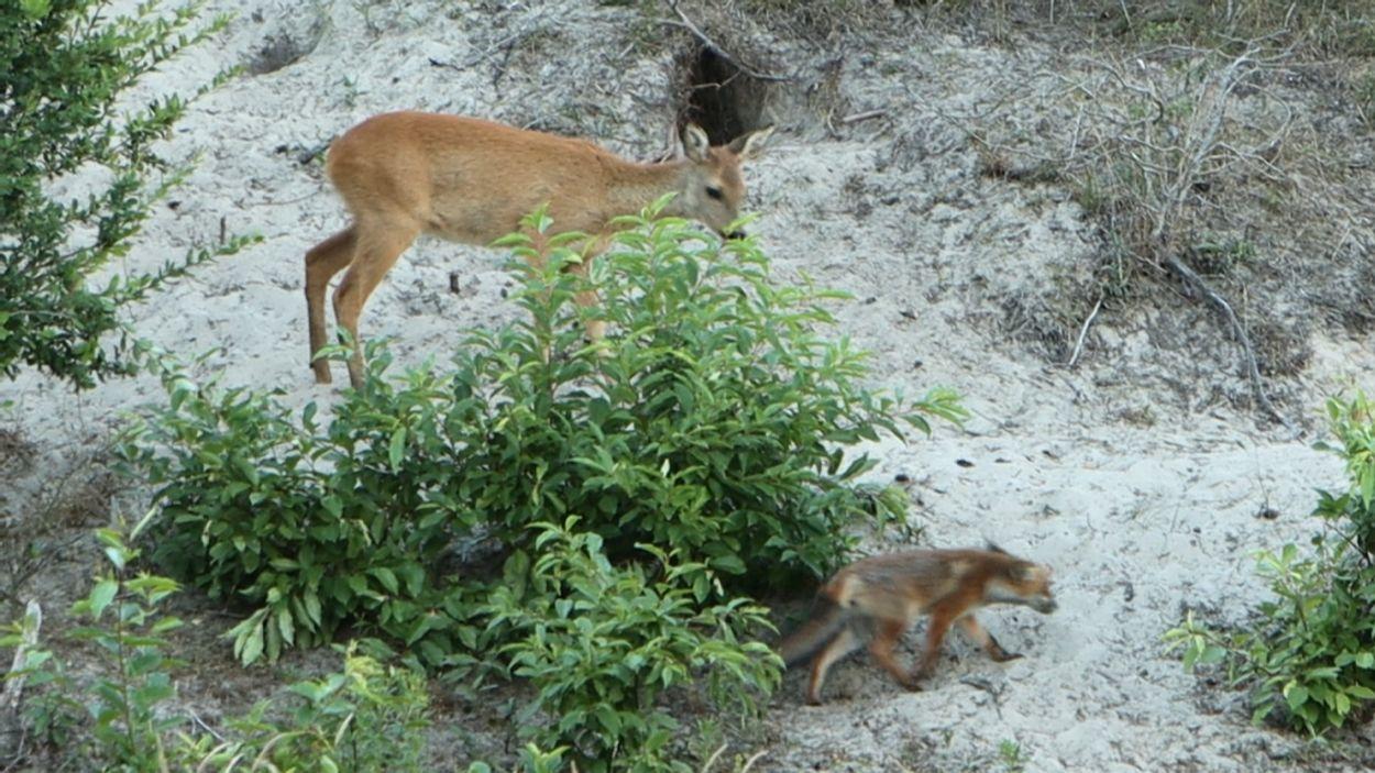 Afbeelding van Ree versus vos | Zelf Geschoten