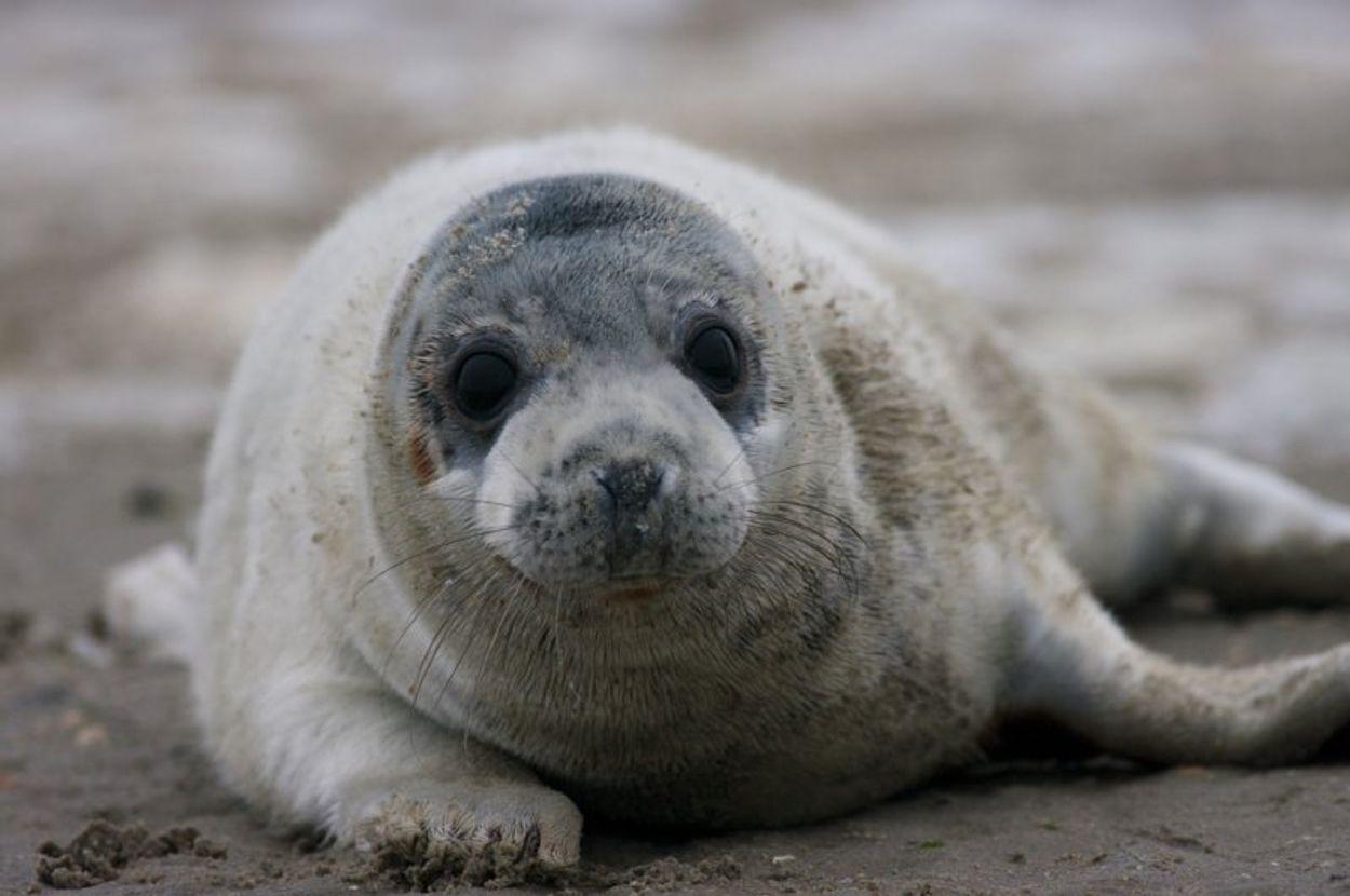 Afbeelding van Aantal zeehonden groeit in de Waddenzee