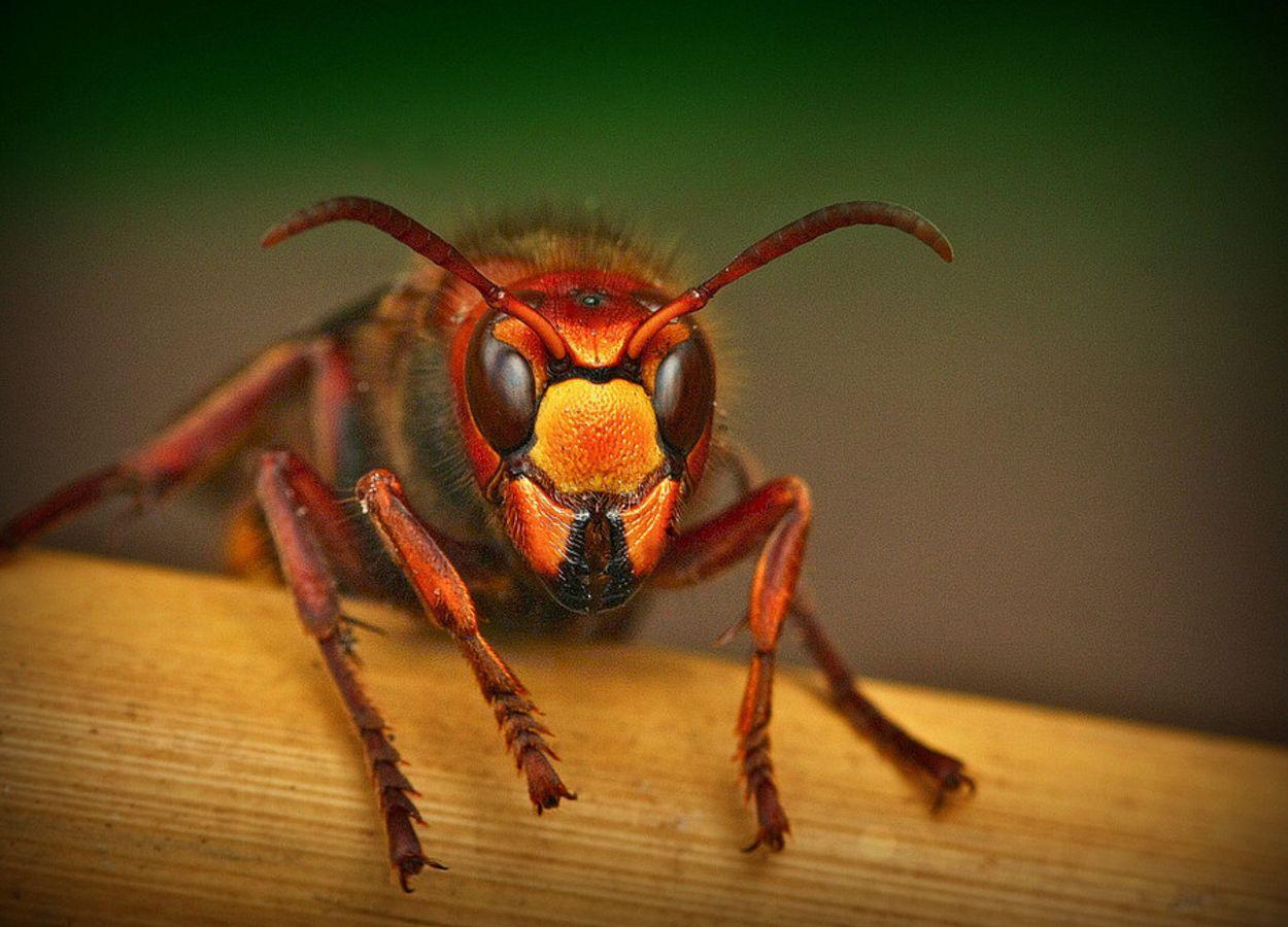 Afbeelding van Vraagbaak: waarom gooien hoornaars larven in mijn tuin?