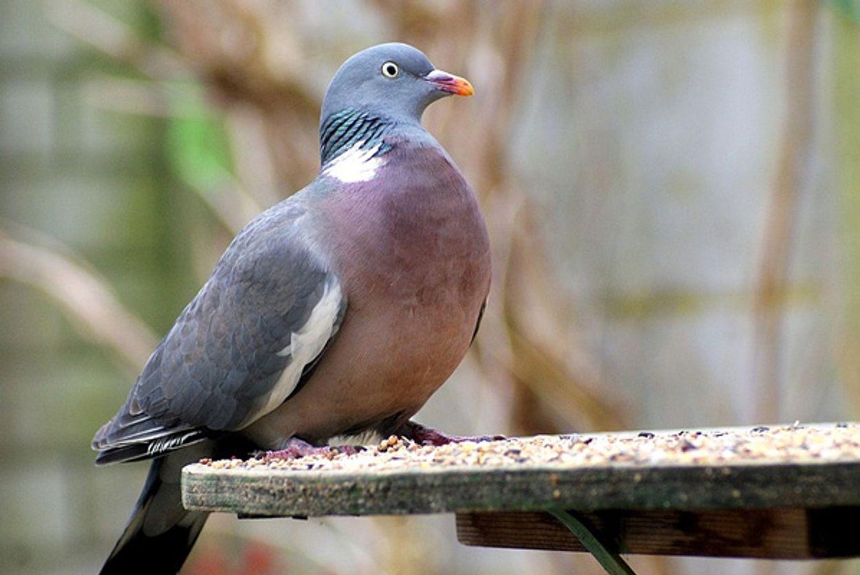 Afbeelding van De duif en de bevrijding
