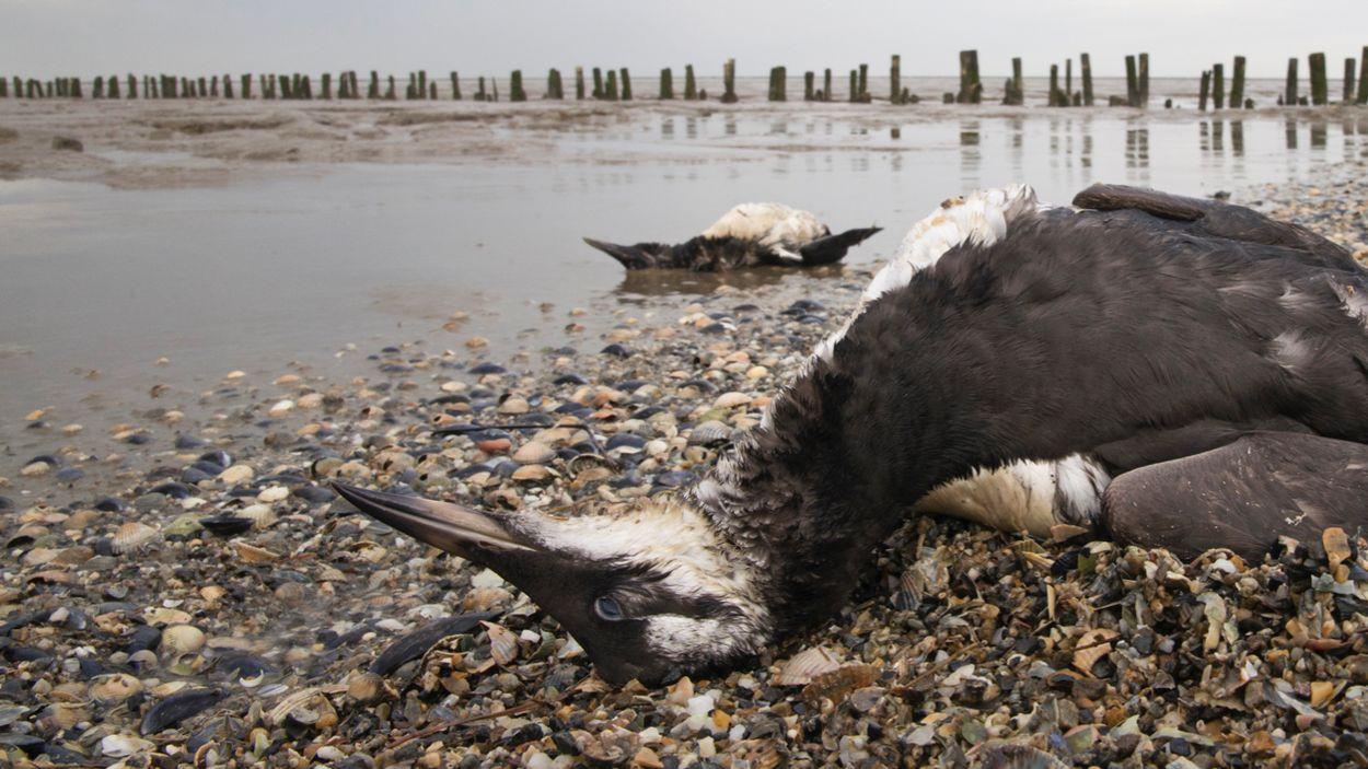 Afbeelding van Veel dode zeekoeten aangespoeld op strand Schiermonnikoog