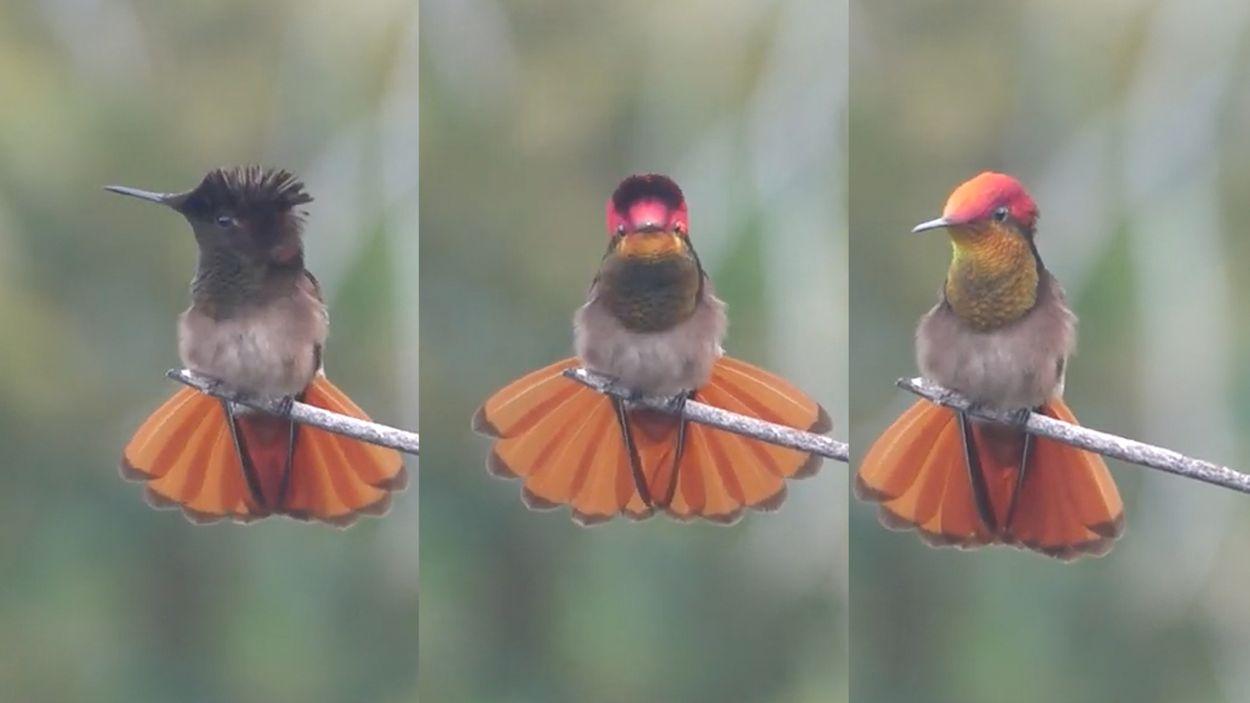 Afbeelding van Muskietkolibrie verandert razendsnel van kleur | Zelf Geschoten